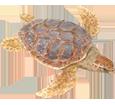 Loggerhead Sea Turtle ##STADE## - look 26