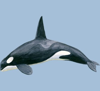 Take in a orca whale species marine animal