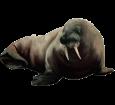 Walrus ##STADE## - look 37