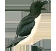 Razorbill Penguin ##STADE## - look 65